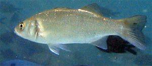 ribolov-brancina