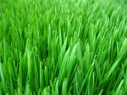 Ječmenova trava kot vir zdravja